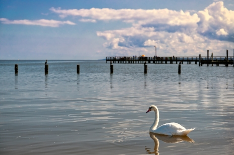A swan swimming near the sand at Colonial Beach, Virginia.